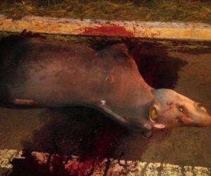 PMA encontra Anta sacrificada na beira da estrada