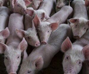 Preços da carne suína seguem em queda com ritmo lento de negócios