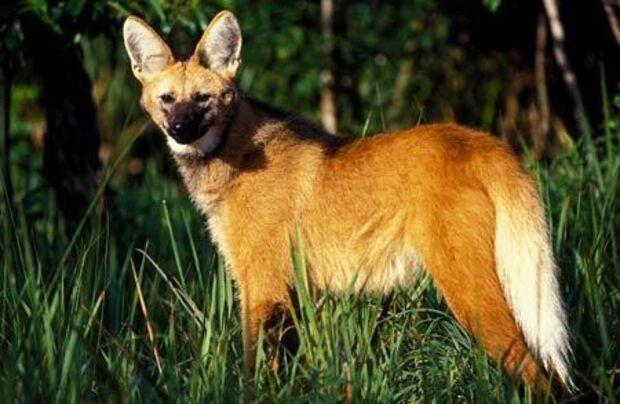 Lobo-guará é capturado pela PMA
