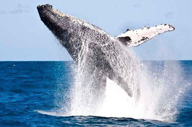Proposta que abria espaço pra liberação da caça de baleias é derrotada
